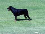 Champion Rottweilers Sun Valley's Ra Marshall