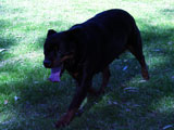 Champion Rottweilers Sun Valley's Saphire Marshall